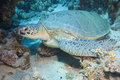 Large green sea turtle on the seabed Royalty Free Stock Photos