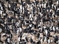 Large Group of Blue Eyed Cormorants Royalty Free Stock Photo