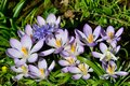 Large group of crocusus purple wild Royalty Free Stock Photos
