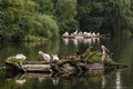 Large group of waterfowl on the lake great white pelican pelecanus onocrotalus cormorants and grey heron ardea cinerea Royalty Free Stock Photo