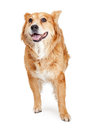 Large Happy Friendly Crossbreed Dog Royalty Free Stock Photo