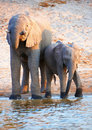 Large herd of African elephants Stock Photography
