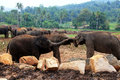 A large herd of brown elephants against the background of the jungle Royalty Free Stock Photo