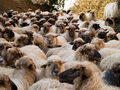 Large herd of sheep Stock Photo