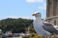 Large herring gull perched on a car roof larus argentatus Royalty Free Stock Images