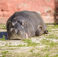 Large hippo resting under sunlight a zoo Royalty Free Stock Images