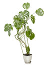 Large houseplant, tall tree in a pot Royalty Free Stock Photo