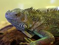 Large iguana with open eye Royalty Free Stock Photo