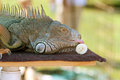 Large Iguana At Wildlife Show Licks Banana Stock Images