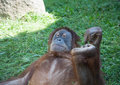 Large image of the big terrible orangutan Royalty Free Stock Photography
