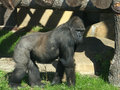 The large image of a gorilla standing on four paws Royalty Free Stock Photos
