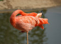 The large image of a red flamingo on nature Stock Photos