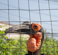 Large images of the kafrsky horned raven moscow zoo russia Stock Image