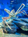 Large king crab osaka japan june live in deep water paralithodes camtschaticus Royalty Free Stock Images