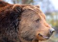 Large kodiak bear a close up Royalty Free Stock Images
