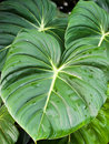 Large Leaves Stock Images