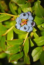Large light blue berries blueberry garden, growing a bunch and hidden green foliage on the branches of a bush. Royalty Free Stock Photo