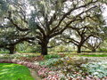 Large live oak trees spreading branches over garden