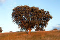 Large lone tree Royalty Free Stock Photography