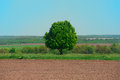 Large lonely green tree in the field as an oak Stock Image