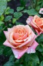 A large lush pink rose in the garden Royalty Free Stock Photo