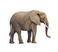 Large male african elephant isolated on white Royalty Free Stock Photo