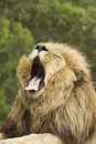 Large male lion lying sun yawning Stock Images