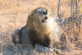 Large male lion roar in early morning with steam on his mouth Royalty Free Stock Photo