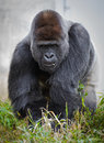 Large male silver back gorilla (gorilla gorilla gorilla) eating vegetation Royalty Free Stock Photo