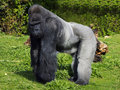 A large male silver back western lowland gorilla Royalty Free Stock Photos