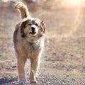 Large mongrel barks sunny dog Stock Photos