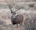 Large mule deer buck Royalty Free Stock Photo