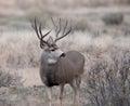 Large mule deer buck Royalty Free Stock Photo
