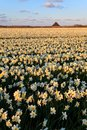 Large narcissus field in spring Royalty Free Stock Image