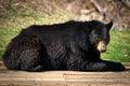 Large North American Black Bear Lying Down Royalty Free Stock Photo