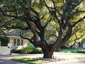 Large Oak tree Stock Image