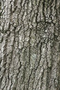 Large oak tree bark Royalty Free Stock Photos