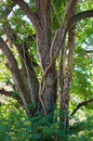 Large oak with vine Royalty Free Stock Photos