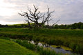 Large old ancient tree with curved branches in the field, Norfolk, United Kingdom