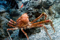 Large orange crab a swims with fish in a saltwater aquarium Stock Image