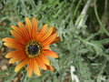 Large Orange Daisy Royalty Free Stock Photo