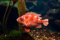 Large orange fish a in a saltwater aquarium Stock Photos
