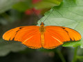 Large orange tropical butterfly showing full wingspan on a fresh leaf Royalty Free Stock Images