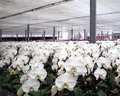 Large orchid plantation orchids of the phalaenopsis genus in a agricultural growing facility Stock Photos