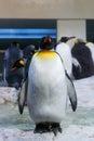 Large outsider penguin Royalty Free Stock Photo