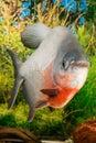Large Paku fish Royalty Free Stock Photo