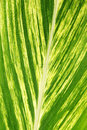 Large palm frond leaf close up show beautiful texture Royalty Free Stock Image