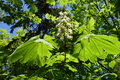Large palmate leaves and panicle of horse chestnut Royalty Free Stock Photo