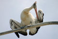Large pelican standing preening itself perch Stock Images