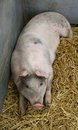 Large pig a laying on straw in a metal pen Royalty Free Stock Photography